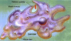 Amip Hastalığı (Amebiazis)