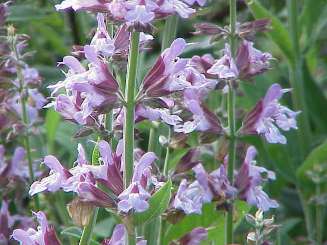 ADAÇAYI (Salvia Officinialis L.)