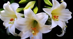 Zambak Çiçeği Faydaları